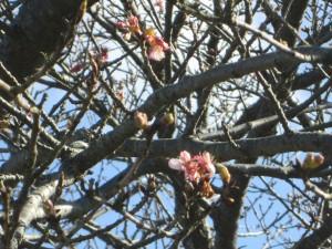 ほころびかけた桜