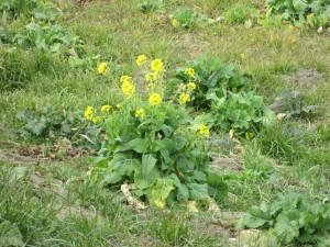 気の早い菜の花
