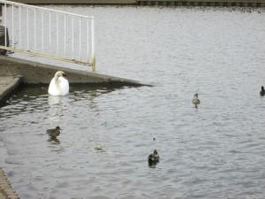 白鳥に鴨にオオバン