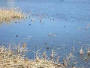 印旛沼の鴨たち