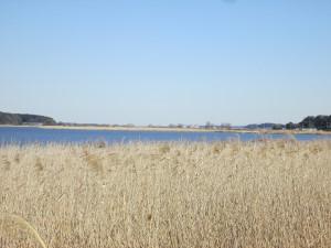 手賀沼の芦原