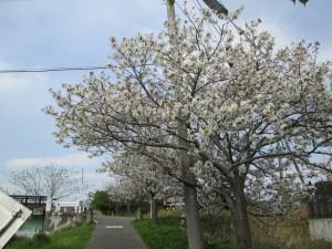 沿道の桜もあと少し