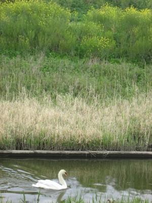 用水路の白鳥