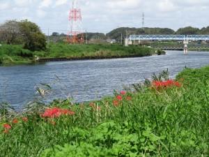 新川もヒガンバナ